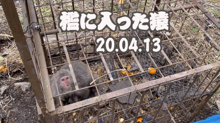 【害獣駆除】檻に入った猿を止め刺し20.04.13